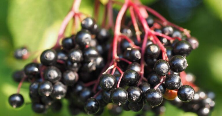 Does Elderberry Make You Poop? Here's What You Need to Know